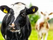 Vacuno de leche en pasto