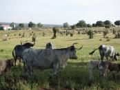 Vacas Morucha