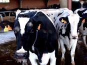 Vacas de leche