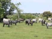 Vacas nodrizas