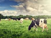 Vacas de leche en prado