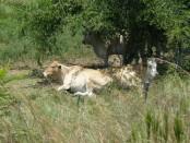 Vacas en Paraguay