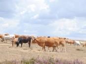 Vacas en extensivo
