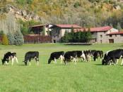 Ponderosa Holstein