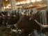 Vacas de Francia