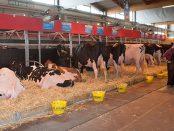 Vacas españolas en Colmar