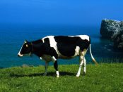 vaca-lechera