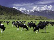 vacas-de-leche