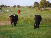 vacas-en-el-campo