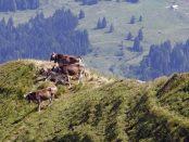 vacas-en-montana