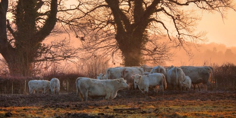 vacas-en-niebla