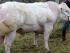 vaca-hormonada