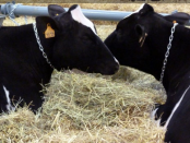 vacas-cataluna