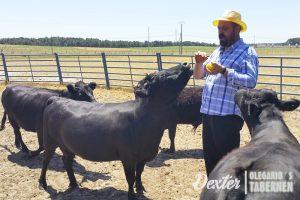 vacas-dexter-comiendo-manzanas