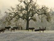 vacas-en-nieve