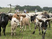 vacas-en-usa