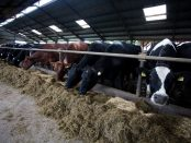 Many cows feeding in large cowshed