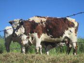 vacas-en-colombia