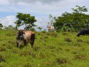 vacas_en_nicaragua