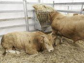 vacas-de-carne