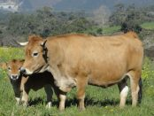 vaca-nodriza