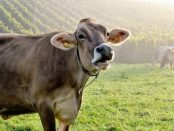 vaca-de-carne