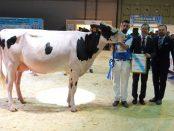 vaca-campeona