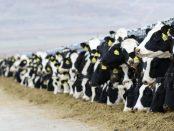 vacas-lecheras