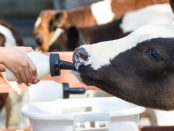 vaca-de-leche
