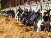 Lot of Holstein Cow eating in a milk production farm